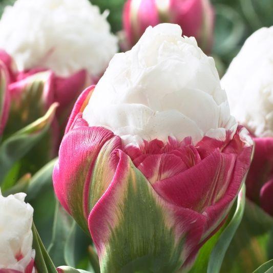 زهرة الآيسكريــم